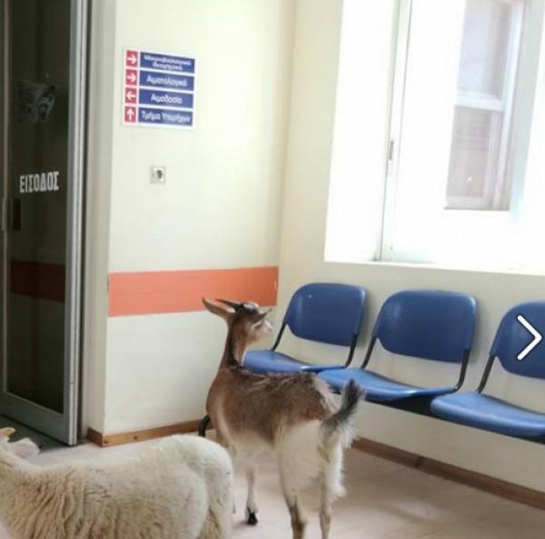 goat sheep hospital