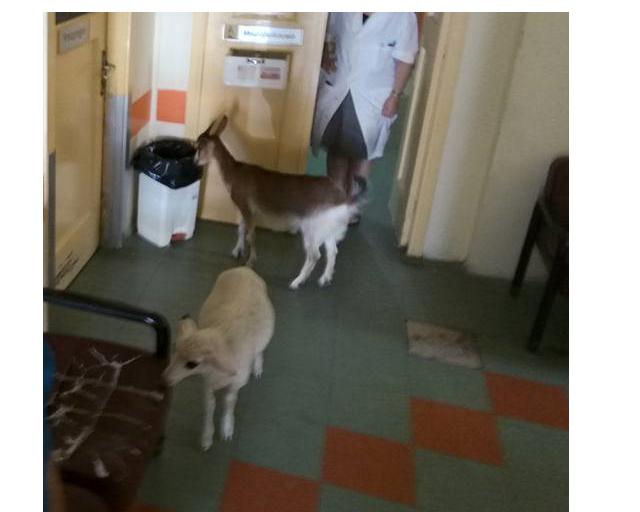 goat sheep hospital1