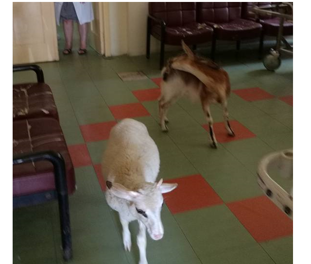 goat sheep hospital2