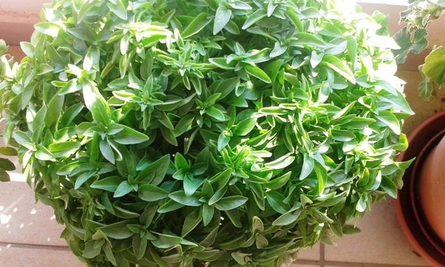 small leaf Basil